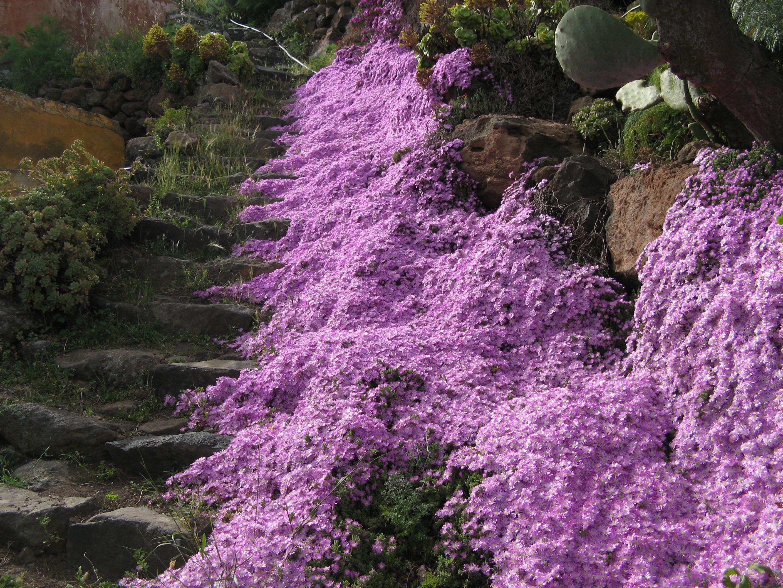 Alicudi-Insel-Blumen 6
