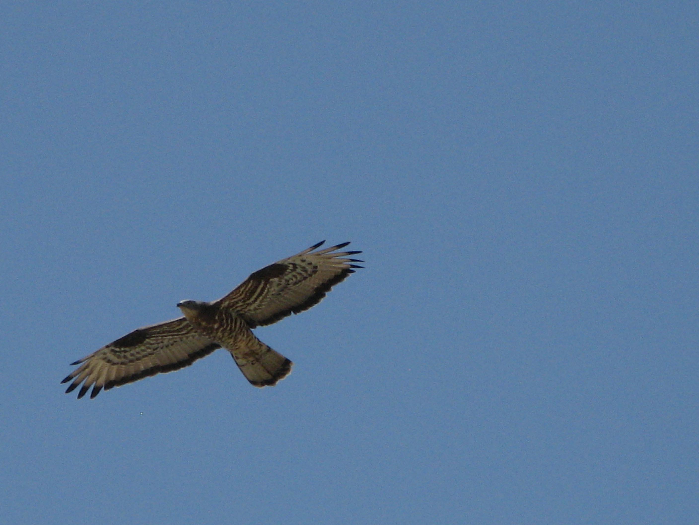 Alicudi-Insel- Falke Tiere 4