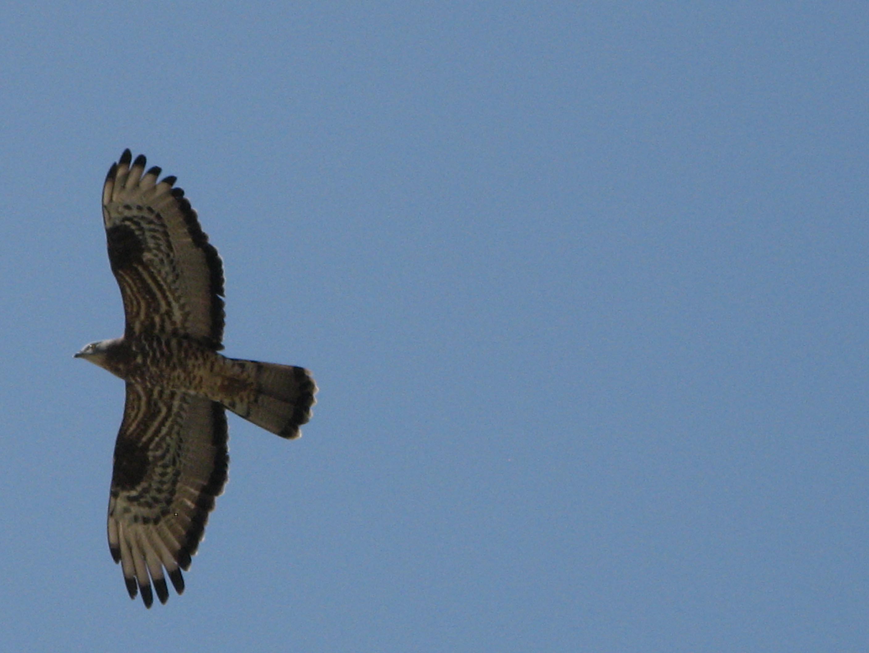 Alicudi-Insel-Falke Tiere 5