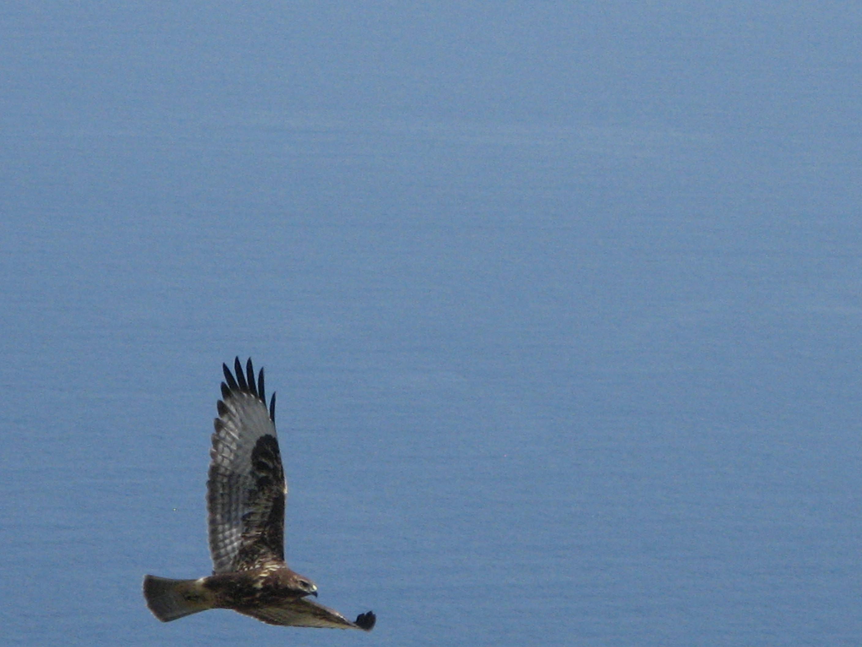Alicudi-Insel- Falke-Tiere
