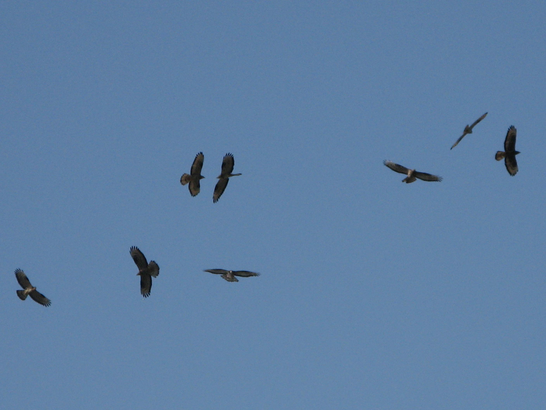Alicudi-Insel- Falken Tiere