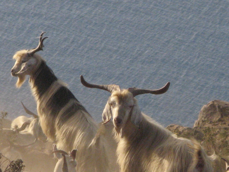 Alicudi-Insel-Ziegen Tiere 2