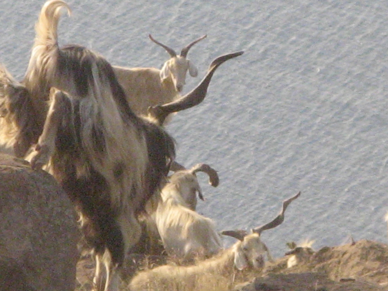 Alicudi-Insel- Ziegen Tiere 4